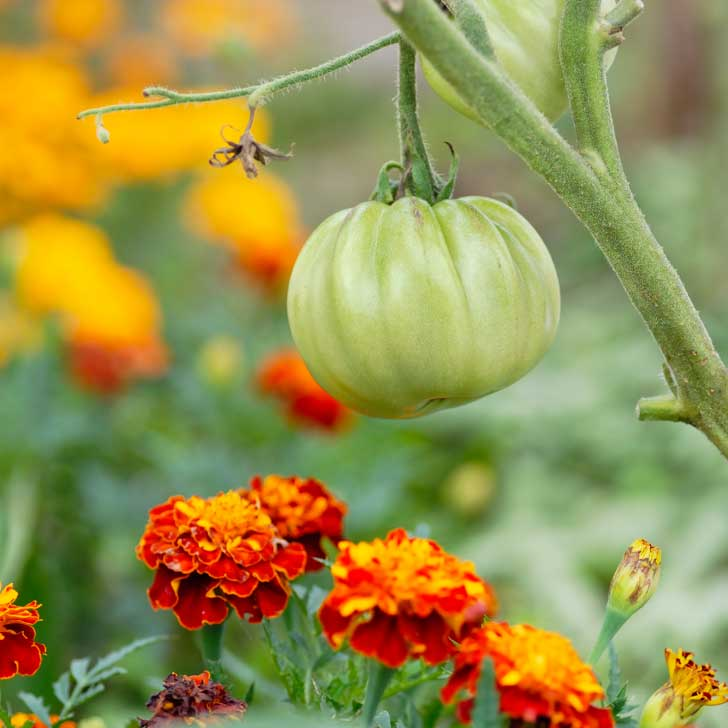 Tomatoes growing with marigolds.