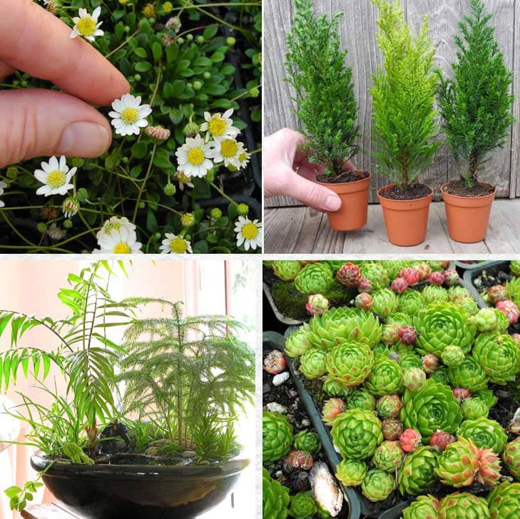 Plants for miniature gardens by Janit Calvo.