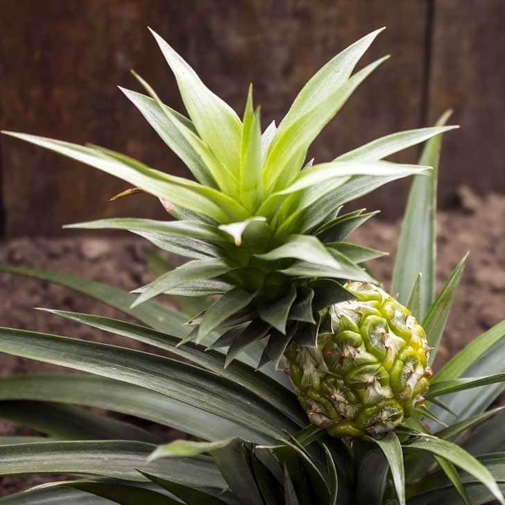Pineapple fruit growing on pineapple plant.