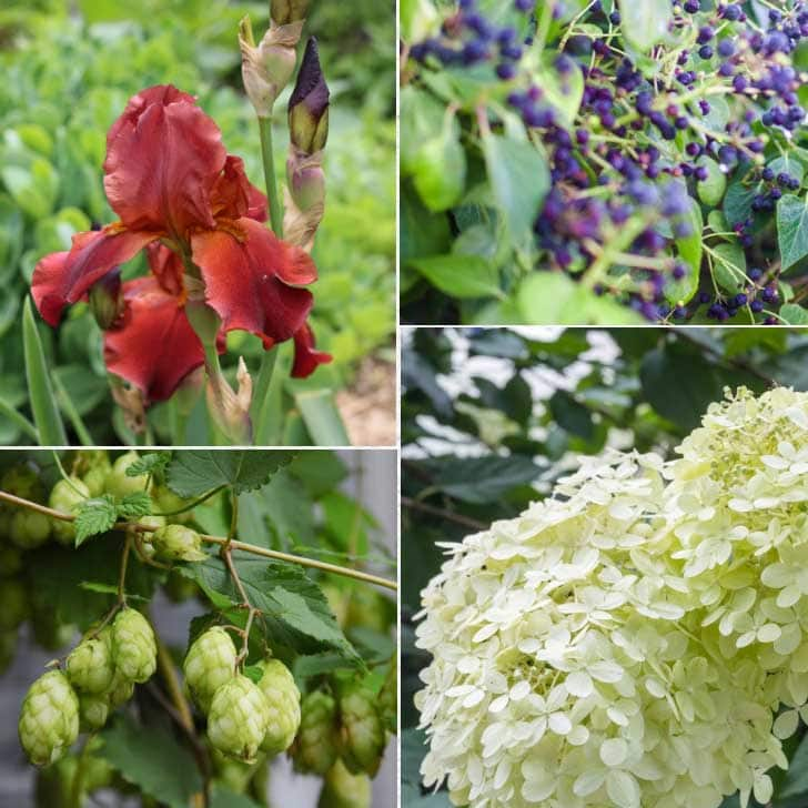 Plant that grow in clay soil including irises, hops, and hydrangea.