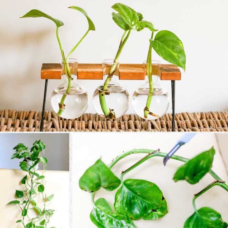 Pothos plants for cuttings and propagation.