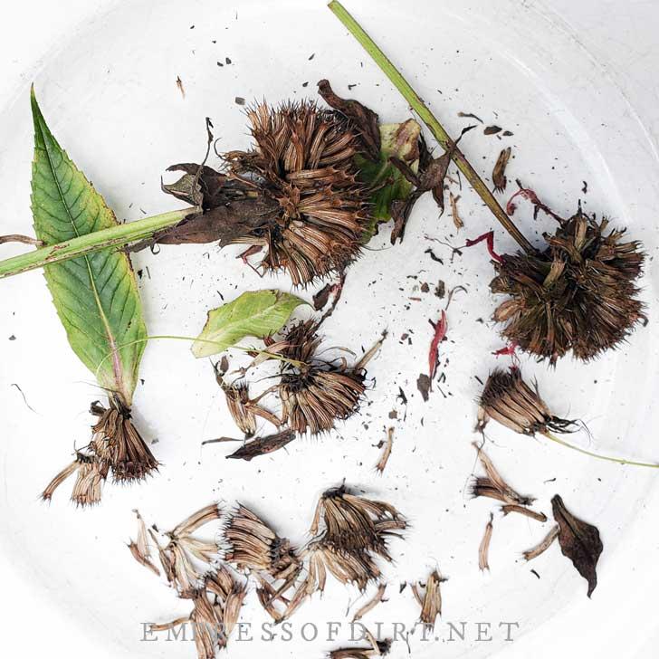 Harvesting zinnias for seeds.