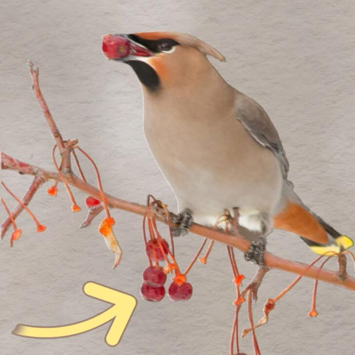 Waxwing bird eating berries on a tree branch.
