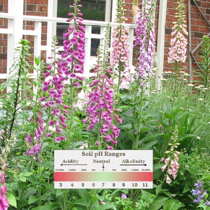 Flower garden with purple foxglove flowers and legend showing pH scale for soil.