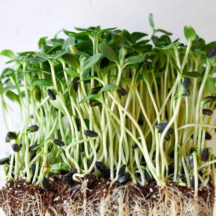 Sunflower microgreens.