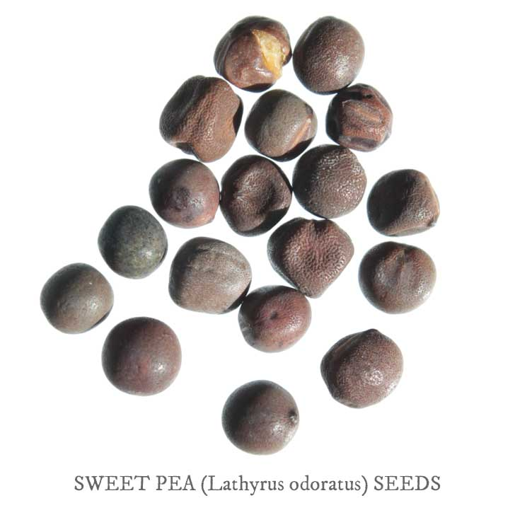 Sweet pea seeds.