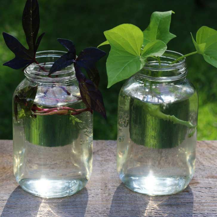 Sweet potato vine cuttings in jars of water.