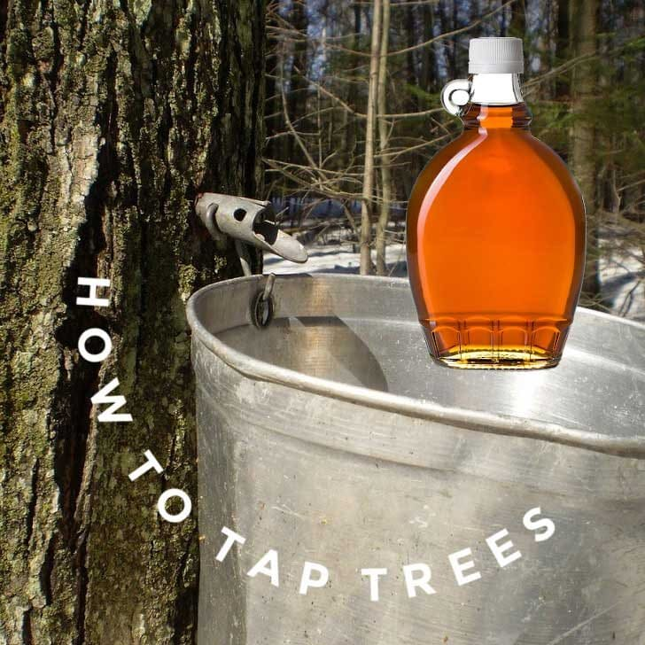 Tree with sap-tapping equipment and bucket; bottle of maple syrup.