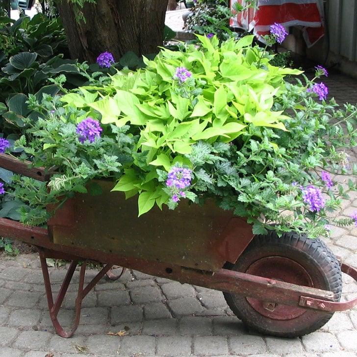 Vintage wheelbarrow planted with purple flowers.