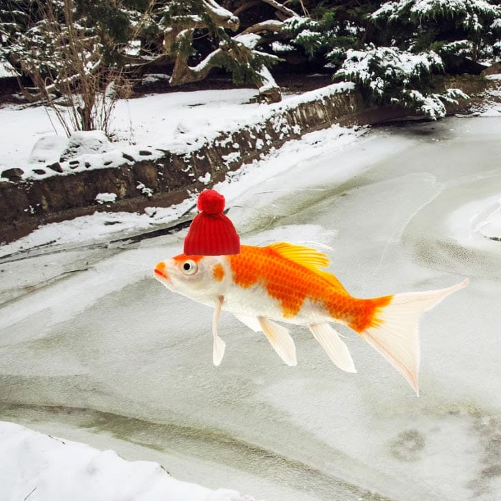 Goldfish wearing a red hat near a winter garden pond.