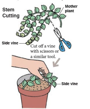 Growing string of pearls plant tips.