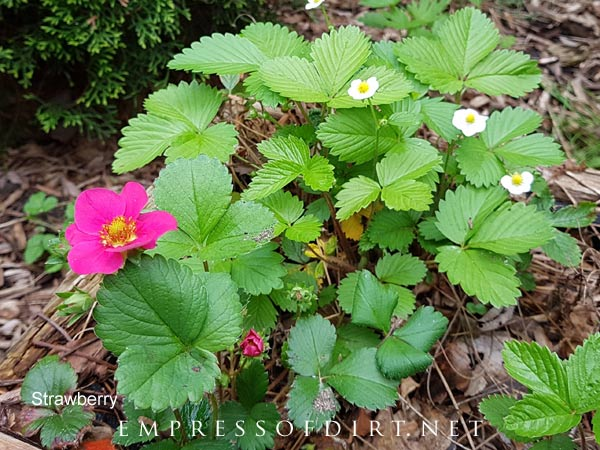 Strawberry plants with pink and white blooms.
