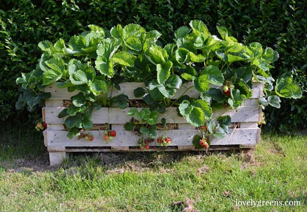 Turn a wood pallet into a delicious strawberry planter by Lovely Greens