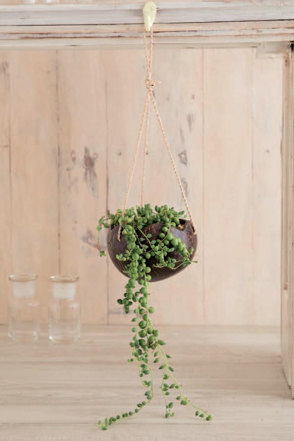 String of Pearls plant in hanging container.