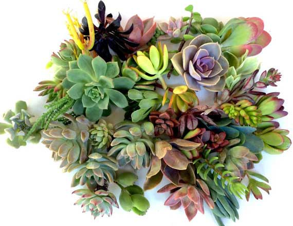 20 Succulent clippings | WesternSucculents Etsy Shop