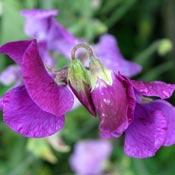 Purple sweet pea flowers.