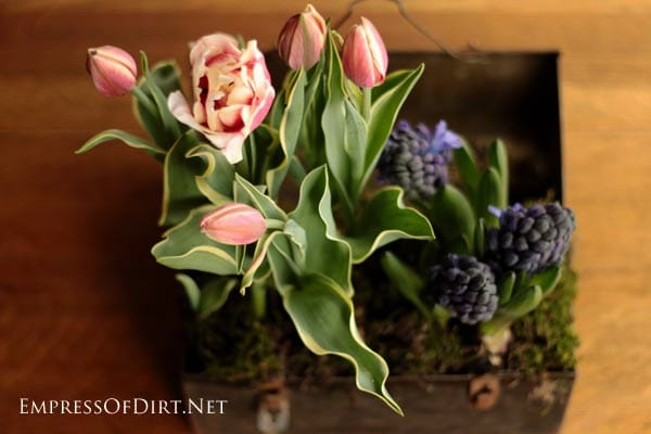 If you've got spring-flowering plants like tulips, daffodils, hyacinth, or paperwhites in pots from the grocery store, you don't have to keep them in the same plastic container. With a little care, these can be repotted for more creative displays.