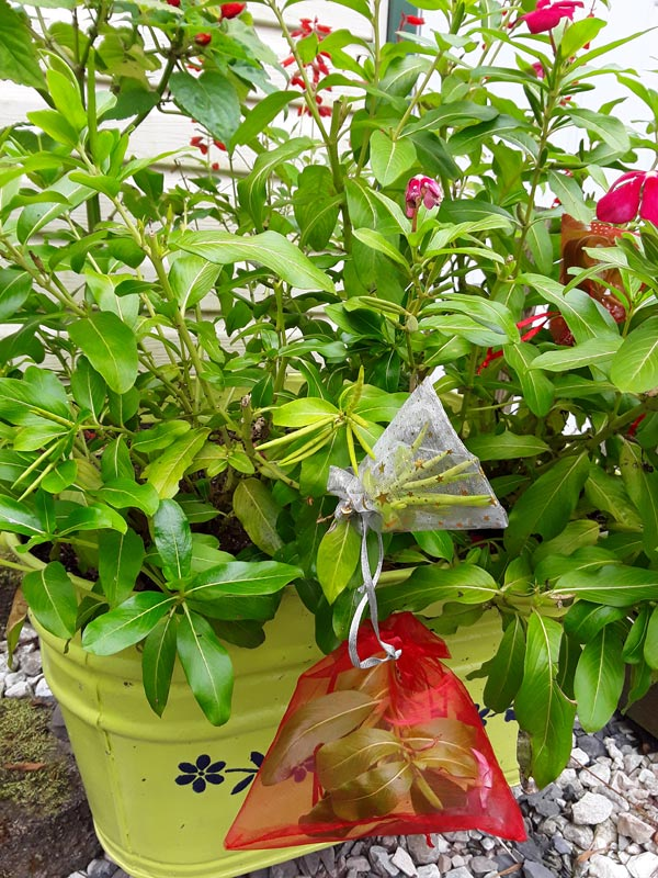 Tulle gift bags used to collect plant seeds in garden.
