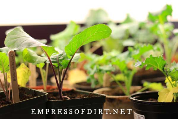 Grow Vegetables Indoors Easy Beginner S Guide Empress Of Dirt