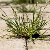 Weeds growing between cracks of brick driveway.