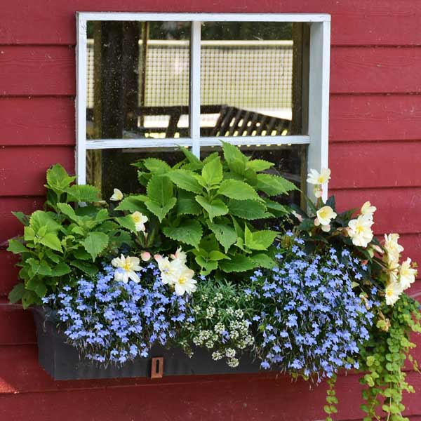 Tips for gorgeous window boxes with plant lists for a beautiful display