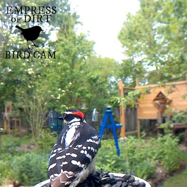 Downy woodpecker at bird feeder.
